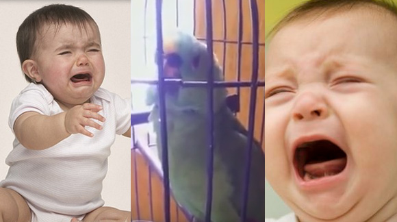 Outrageously Crazy Parrot Perfectly Imitates Crying Baby. Totally LOL!